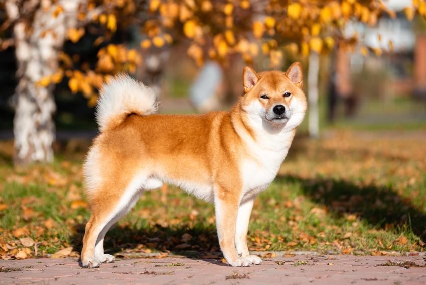 Pies rasy akita japońska na tle drzew w czasie spaceru oraz jego charakter i usposobienie
