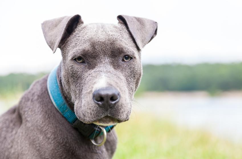 Pies rasy amerykański pitbulterier na tle drzew i wody oraz jego opis i charakter