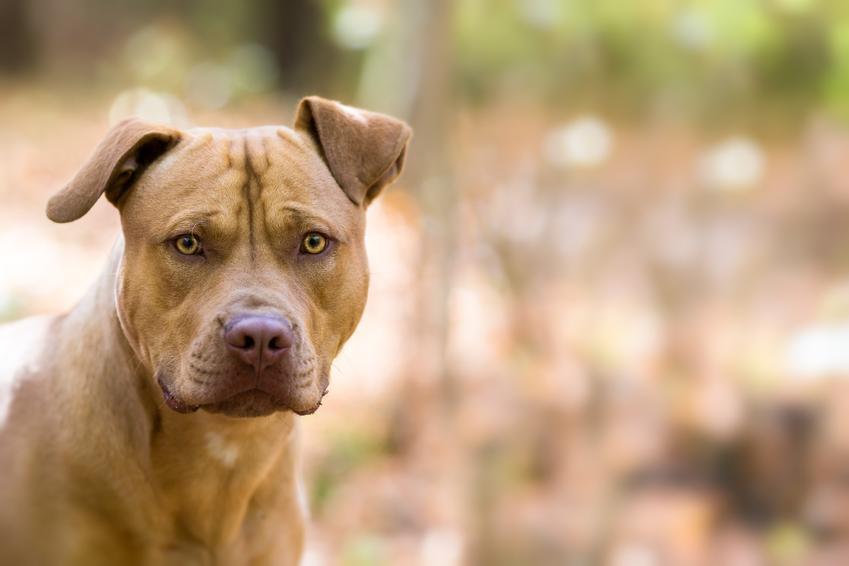 Pies rasy pitbull amarykański podczas spaceru w lesie, a także usposobienie amerykańskiego pitbulteriera
