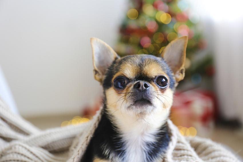 Pies rasy chihuahua w pokoju pod kocem, a także informacje, czy istnieje chihuahua miniaturka
