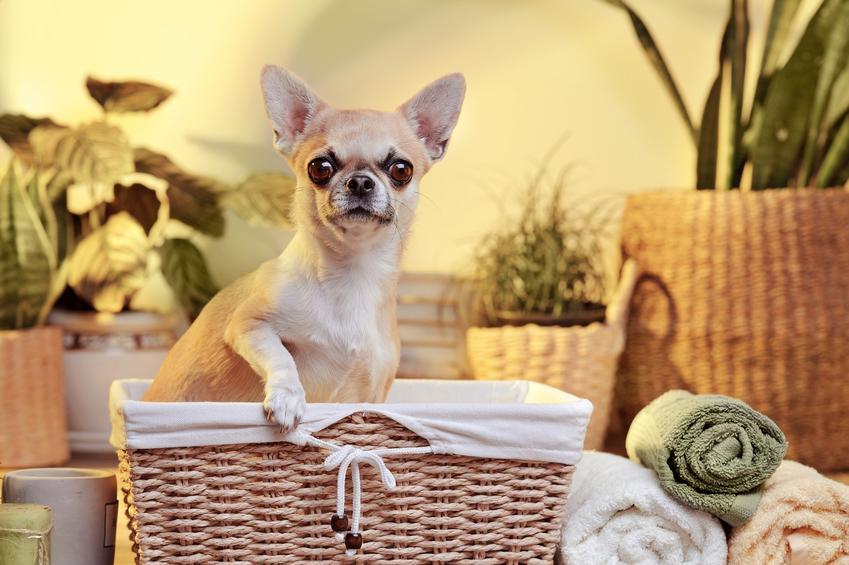 Pies rasy chihuahua siedzący w koszyku wiklinowym oraz charakter chihuahua, jego opis i hodowla