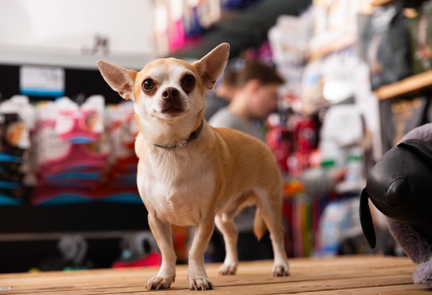 Pies rasy chiuhuahua w czasie zakupów z właścicielką, a także cena chihuahua z hodowli