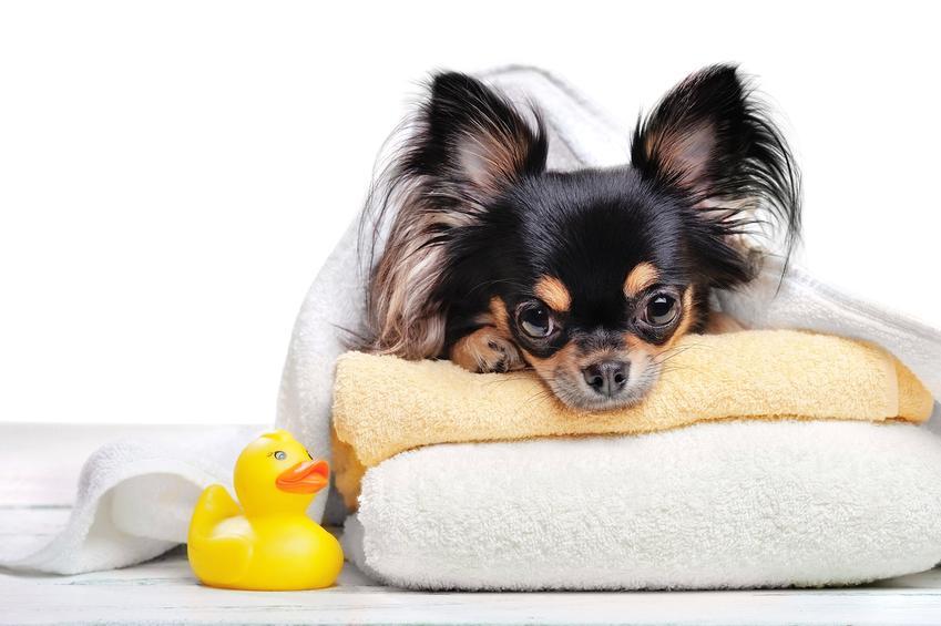 Pies rasy chihuahua długowłosa leżący na legowisku oraz cena chihuahua z rodowodem