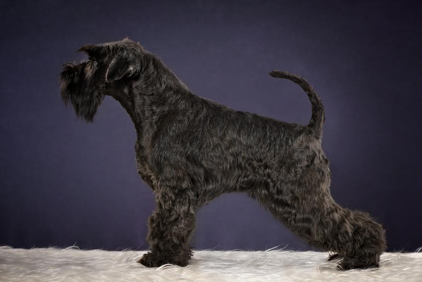 Pies rasy kerry blue terrier na ciemnym tle, a take jego charakter i cena