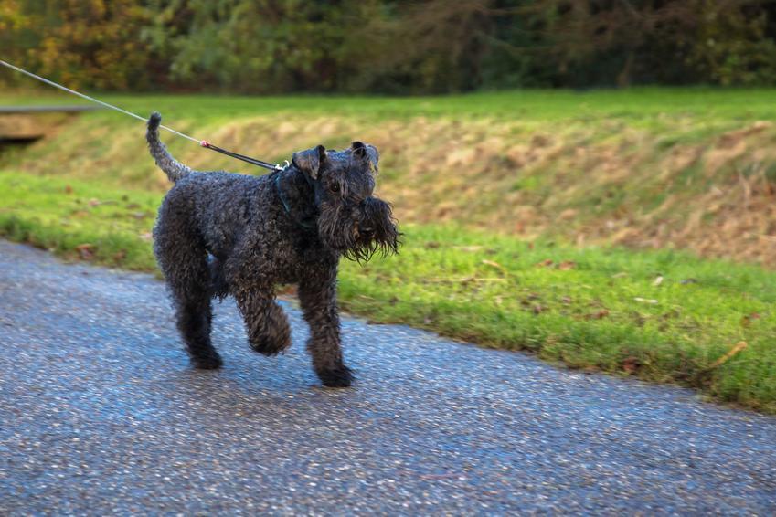 Pies rasy kerry blue terrier w czasie spaceru oraz jego hodowla, charakter i cena