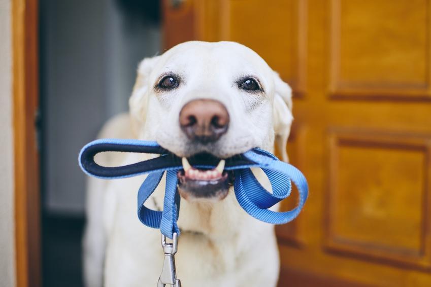 Pies ze smyczą w pysku oraz wskazówki i porady, jak wychować psa w domu, by nie sprawiał kłopotów