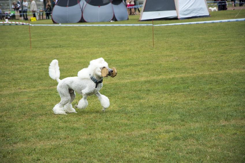 Pudel na trawie niosący zabawkę oraz porady jak wytresować psa