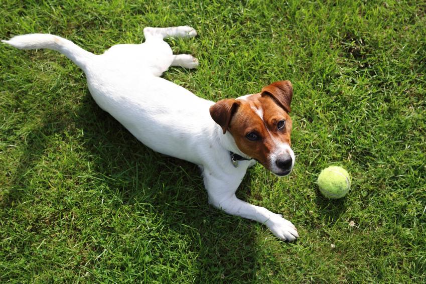 Pies leżący na trawie z piłką oraz tresowanie psa i porady jak wytresować psa