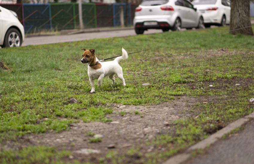 Pies rasy jack russell terrier szorstkowłosy w czaie spaceru po trawniku, a także informacje i opis rasy