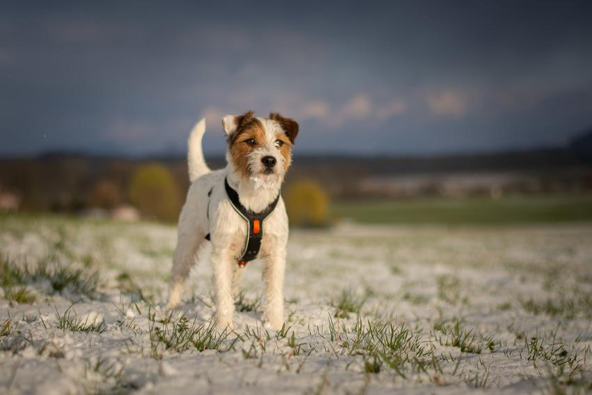 Pies rasy parson russell terrier w czasie spaceru, a także jego opis i charakter