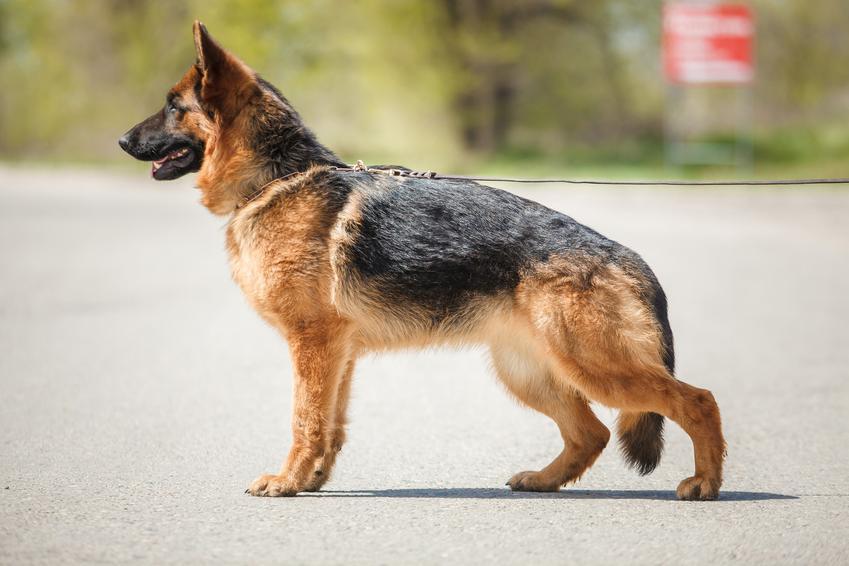 Pies rasy użytkowy owczarek niemiecki stojący na drodze, a także jego opis i charakter