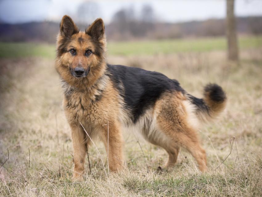 Pies rasy użytkowy owczarek niemiecki w czasie spaceru na polu oraz opinie i charakter