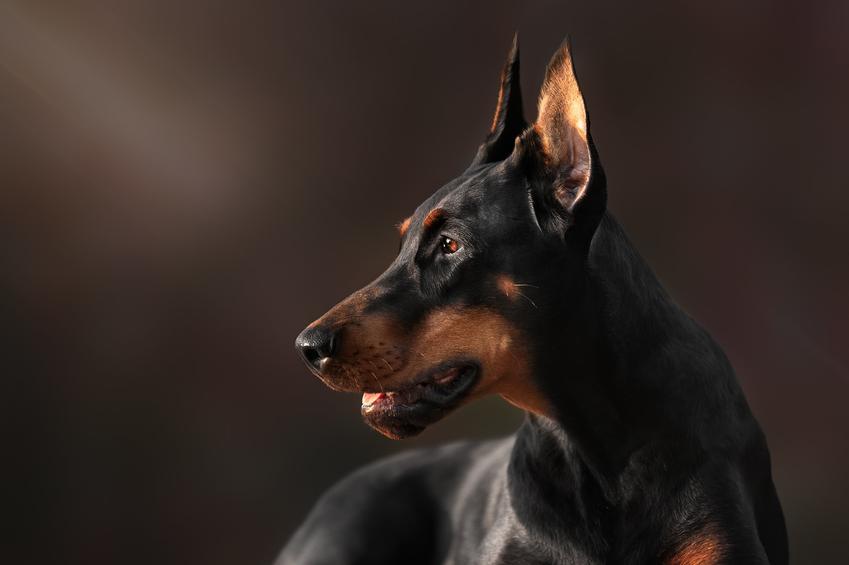 Pies rasy doberman na czarnym tle, a także usposobienie dobermana i jego charakter