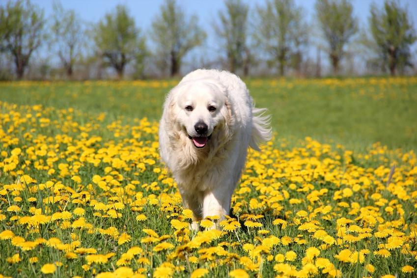 Pies rasy biały owczarek podhalański wśród żółtych kwiatów, a także czy istnieje czarny owczarek podhalański