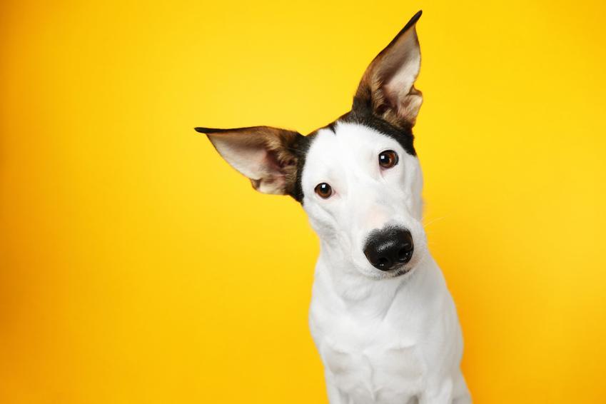 Pies z dużymi uszami na żółtym tle, a także inspiracje na fajne imię dla psa