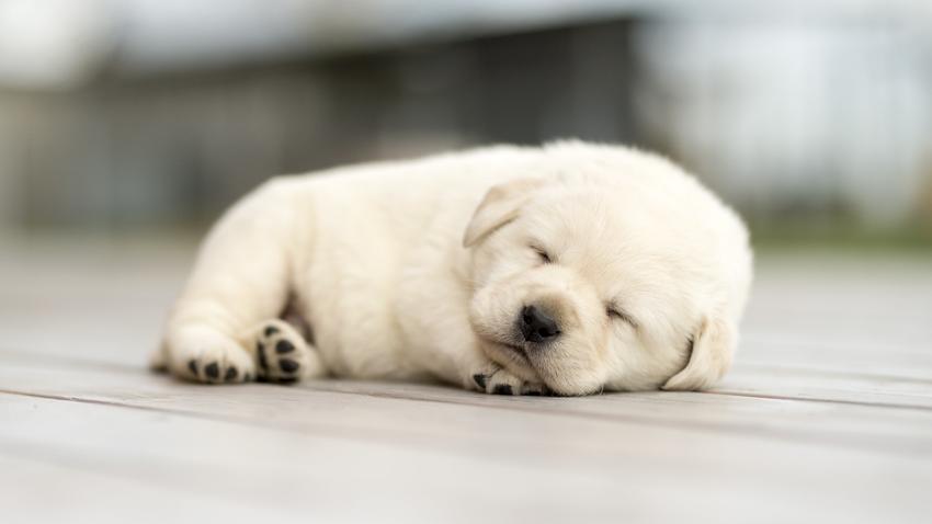 Szczeniak labradora śpiący na podłodze, a także cena labradora z hodowli