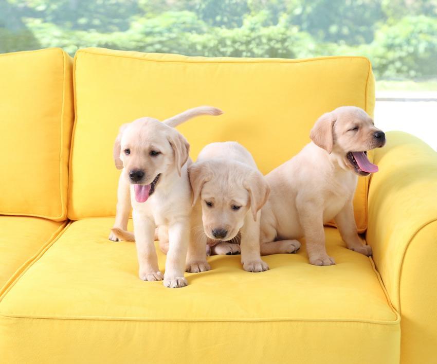 Trzy małe szczeniaki rasy labrador na żółtym fotelu, a także cena labradora z rodowodem