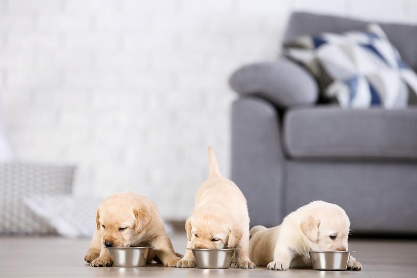 Trzy szczeniaki rasy labrador w salonie na podłodze, a także najlepsza hodowla labradorów w Polsce