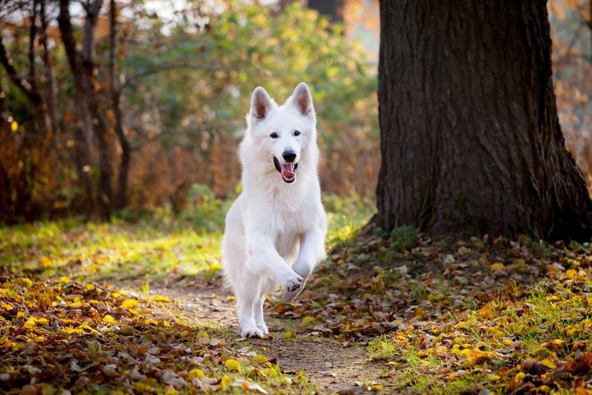 Pies rasy owczarek szwajcarski w czasie spaceru w lesie, a także cena owczarka szwajcarskiego