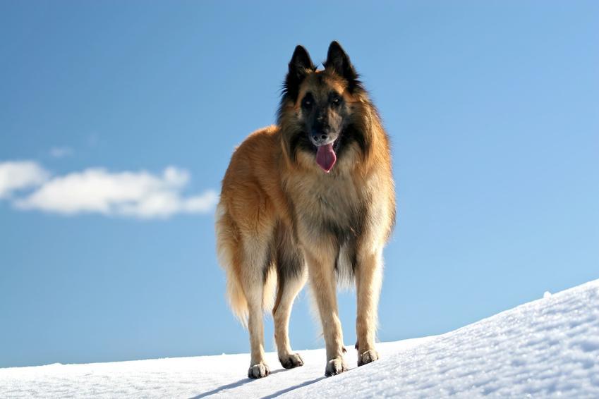 Pies rasy owczarek belgijski tervueren na tle śniegu, a także jego charakter i cena