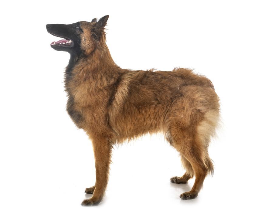 Pies rasy owczarek belgijski tervueren stojący na białym tle, a także cechy rasy