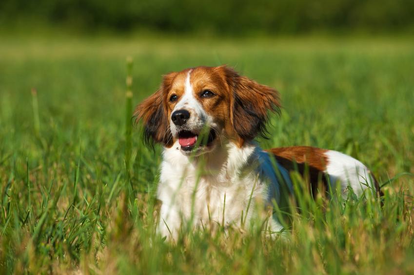Pies rasy płochacz holenderski, kooikerhondje siedzący w trawie, a także opis rasy