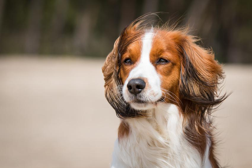 Pies rasy płochacz holenderski, kooikerhondje na tle zieleni, a także jego hodowla w Polsce