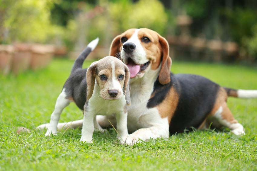 Dwa psy rasy beagle bawiące się na trawniku, a także cena beagle i opis rasy