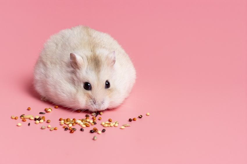 Chomik jedzący ziarno na różowym tle, a także chomiki i gatunki chomików