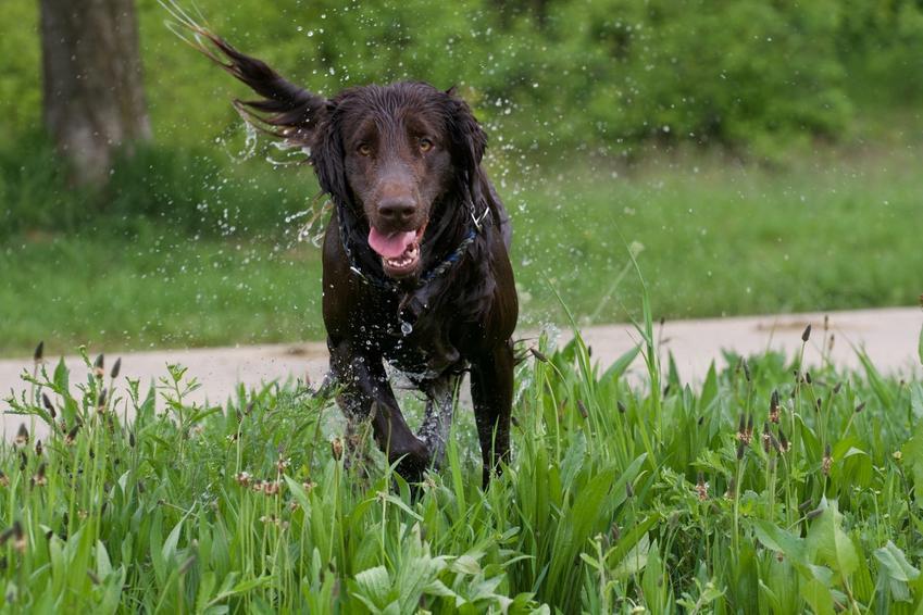 Pies rasy flat coated retriever podczas spaceru biegnący po trawie i opis rasy