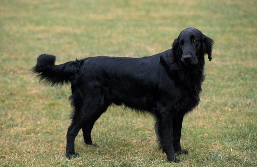 Pies rasy flat coated retriever stojący na trawniku, a także jego charakter i hodowla