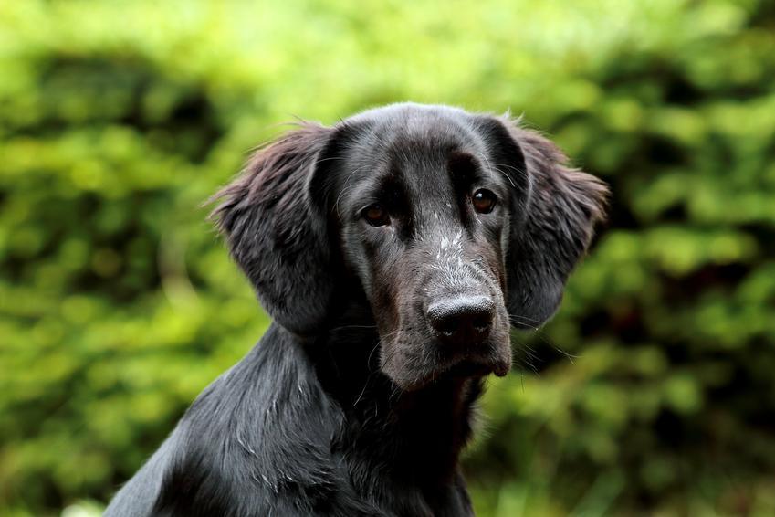 Pies rasy flat coated retriever na portrecie na tle zieleni oraz charakter i opis rasy