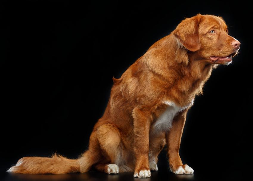 Pies rasy retriever z nowej szkocji na czarnym tle oraz charakter i usposobienie