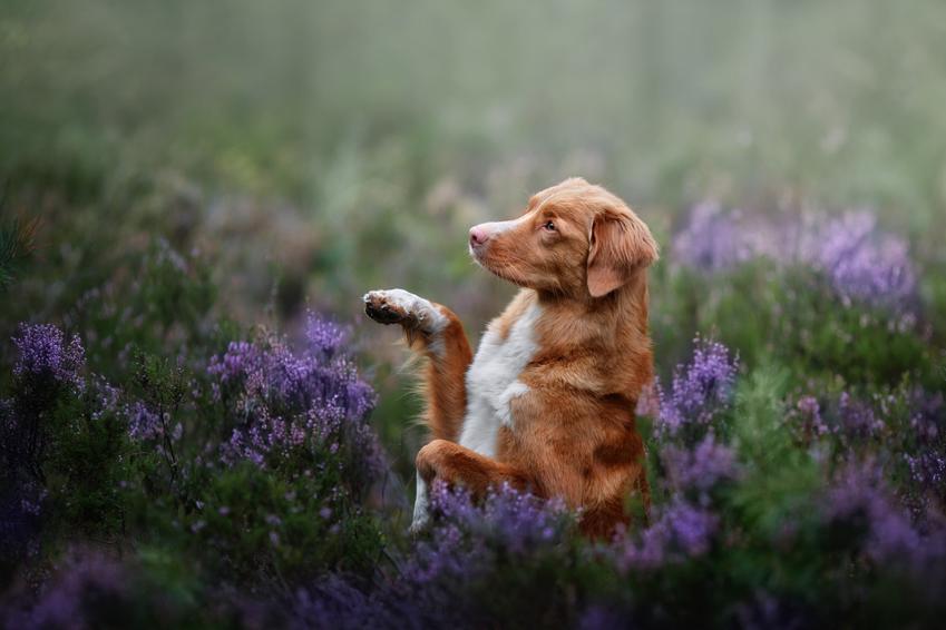 Pies rasy retriever z nowej szkocji bawiący się w kwiatach, a także charakter rasy