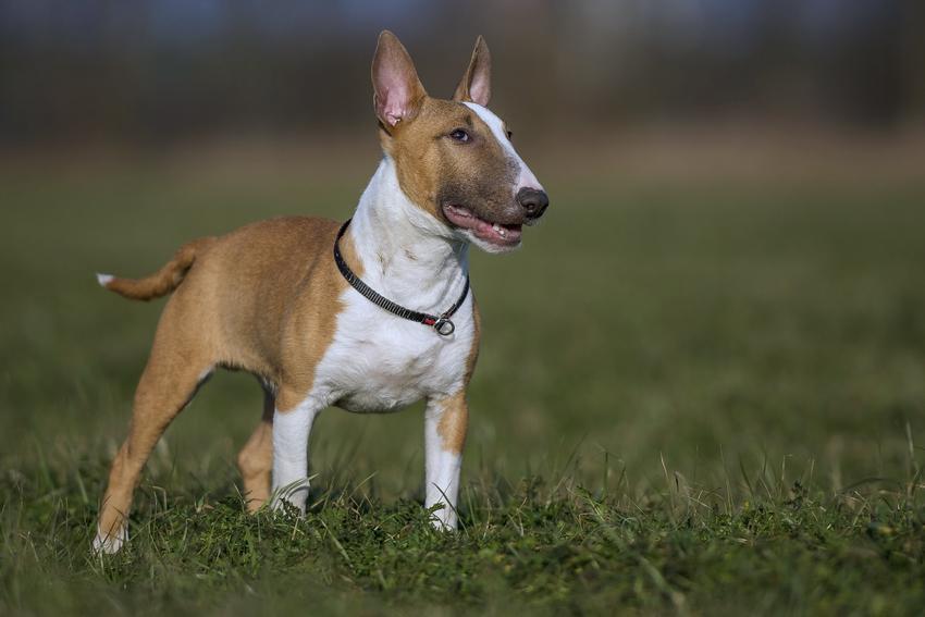 Pies rasy bulterier miniaturowy stojący na trawniku oraz jego cena i hodowla