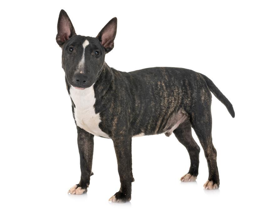 Pies rasy bulterier miniaturowy stojący na białym tle, a także jego charakter i opis rasy