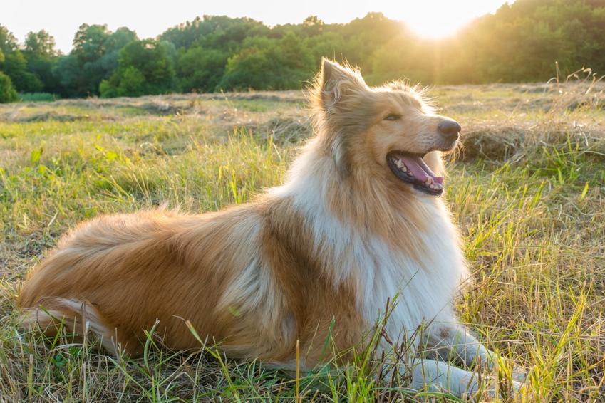 Pies rasy owczarek szkocki leżący na łące, a także cena owczarka szkockiego