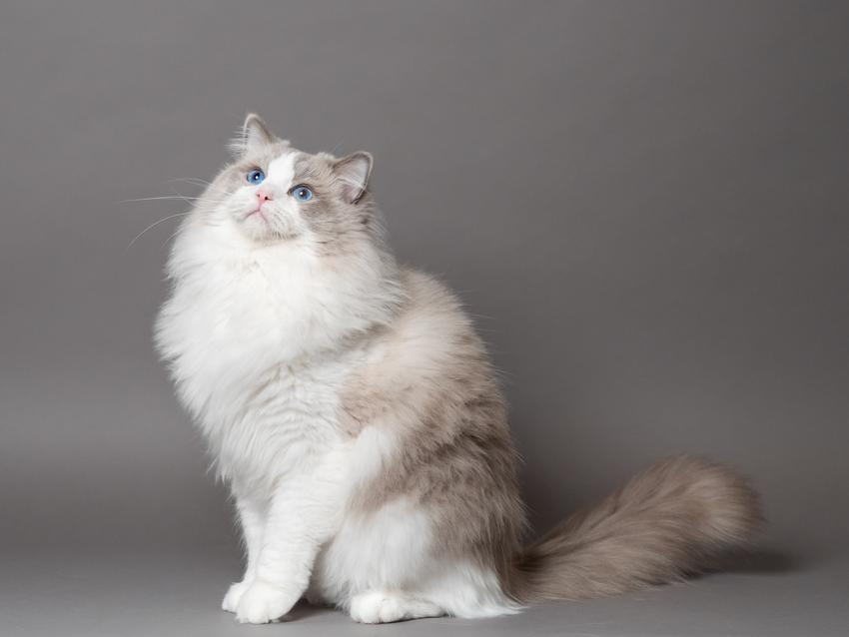 Kot rasy ragdoll na szarym tle, a także cena ragdoll i jego charakter