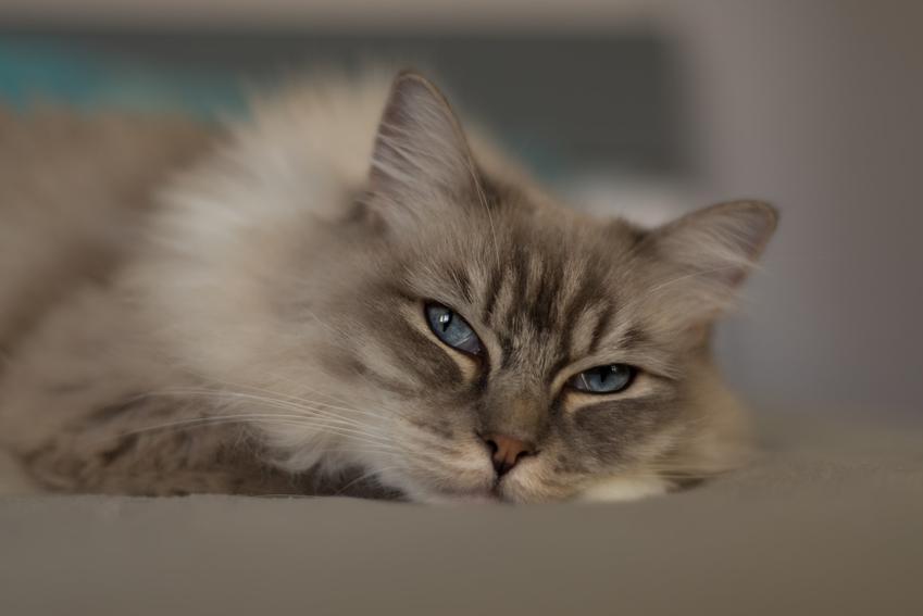 Kot rasy ragdoll leżący na podłodze, a także cena ragdoll i hodowle kotów