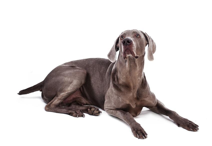 Pies rasy wyżeł weimarski leżący na białym tle oraz cena wyżła weimarskiego z rodowodem