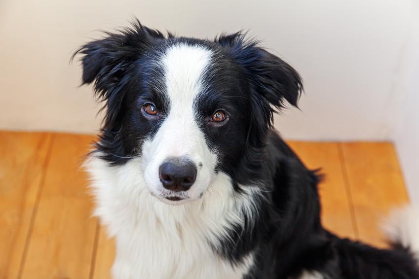 Pies rasy owczarek border collie na portrecie w domu, a także informacje o rasie