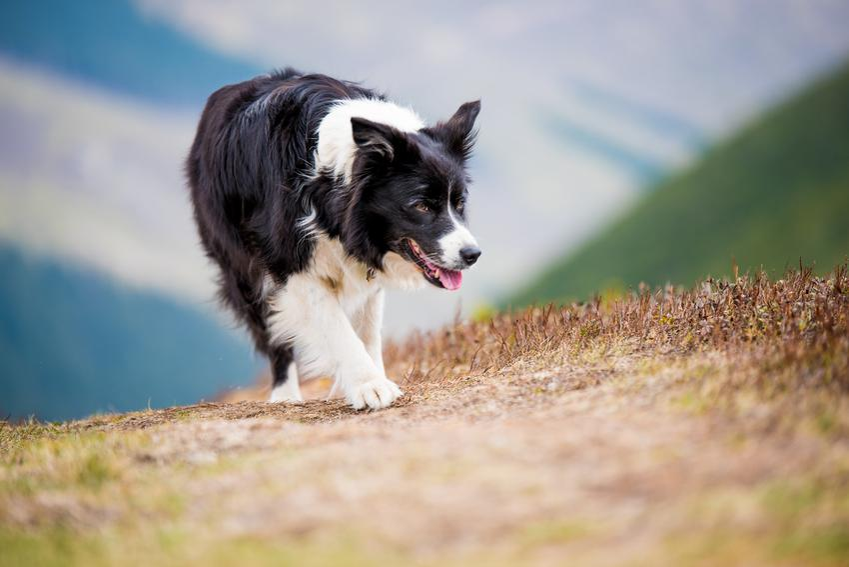 Pies rasy owczarek border collie podczas spaceru, a także jego opis i charakter