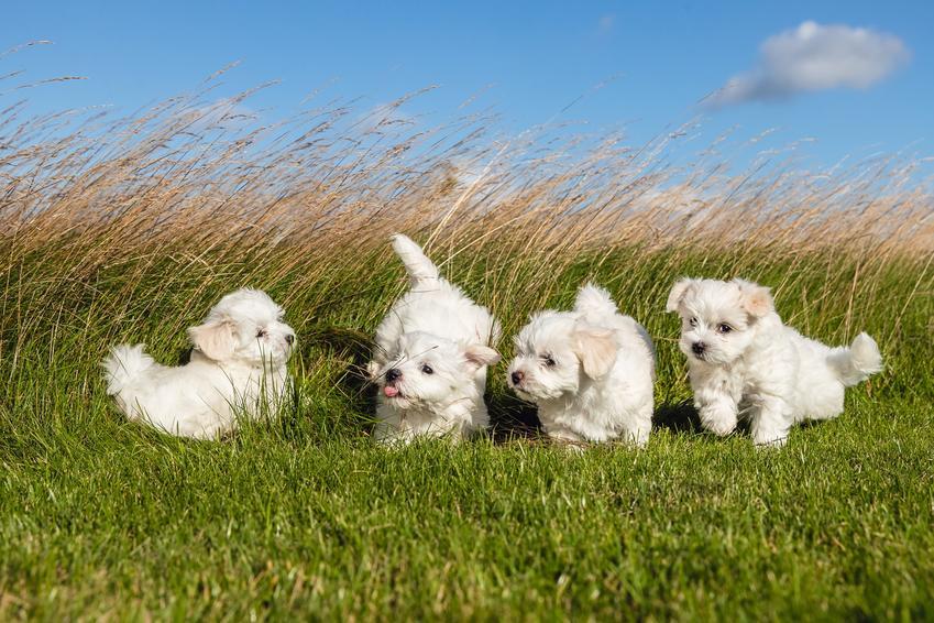 Małe maltańczyki na trawie, czyli hodowla maltańczyków i sprawdzone hodowle maltańczyków
