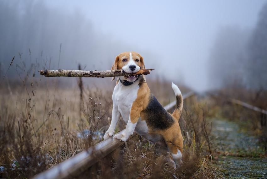 Pies rasy beagle niosący patyk, a także inne rasy psów myśliwskich