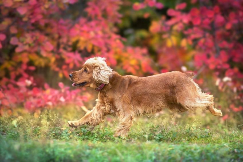 Pies rasy cocker spaniel piegający po trawie, a także inne rasy psów myśliwskich