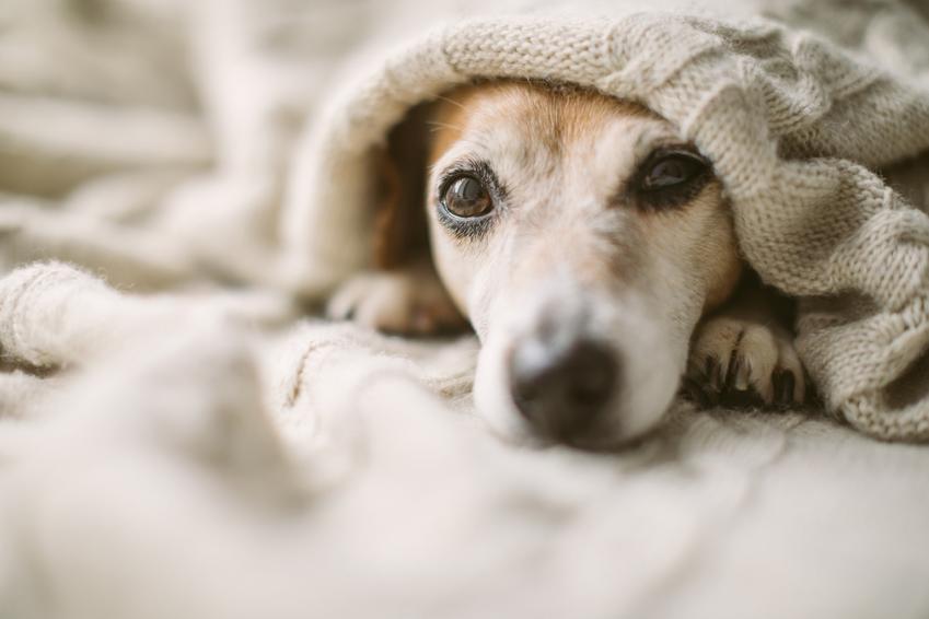 Przeziębiony pies leżący w domu pod kocem, a także przeziębienie u psa i objawy