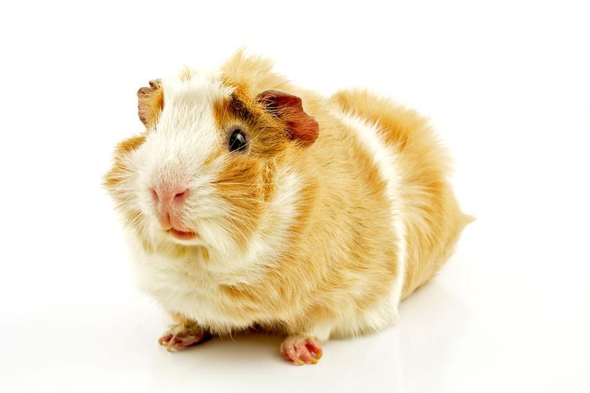 Świnka morska na białym tle, a także ile żyje świnka morska i jak długo żyje