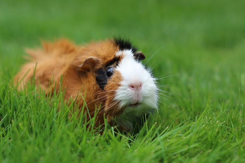 Świnka morska długowłosa siedząca w trawie, a także rasy świnek morskich