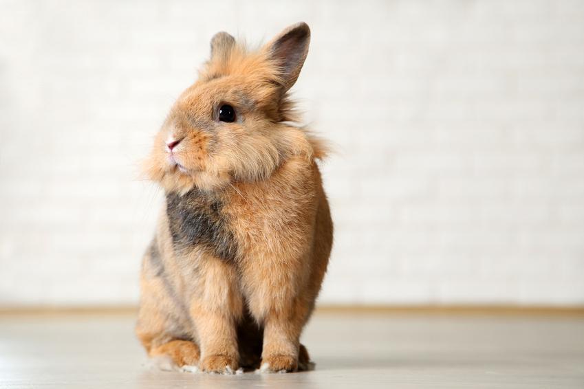 Królik domowy siedzący na podłodze na tle ściany, a także wychowanie i żywienie królików