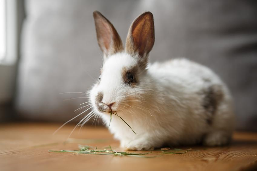 Królik domowy siedzący na podłodze i jedzący sianko, a także wychowanie i hodowla królika